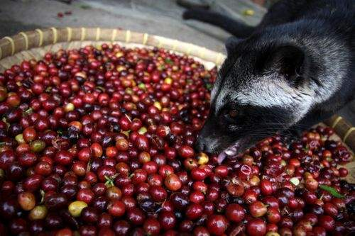 Here's a picture of a civet eating coffee beans. We can't post the things that come out. Photo from Leendertz (Wikimedia user).